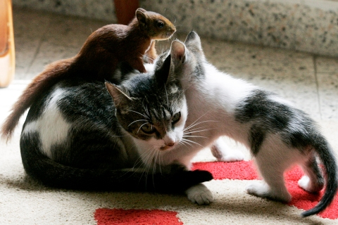A squirrel plays with Tita and her kitten at the house of Ruben Gaviria in Envigado
