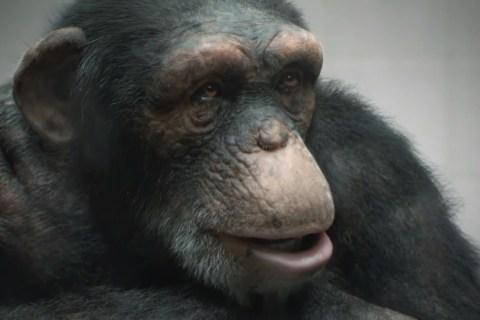 peta-cgi-ape
